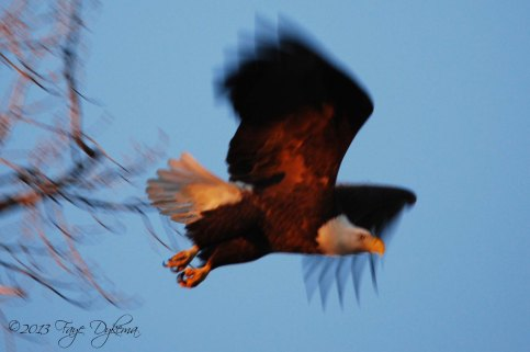 eagle in flight - web