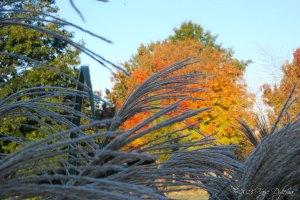 Grass Maple