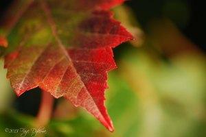 Maple leaf close copy